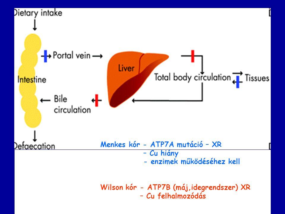 Menkes kór - ATP7A mutáció – XR – Cu hiány - enzimek működéséhez kell Wilson kór - ATP7B (máj,idegrendszer) XR – Cu felhalmozódás