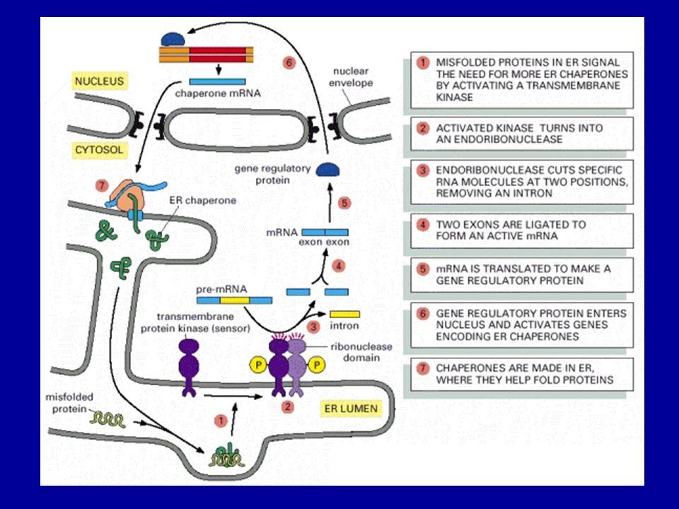 Endoplazmás retikulum tárolási betegségek (ERSD)