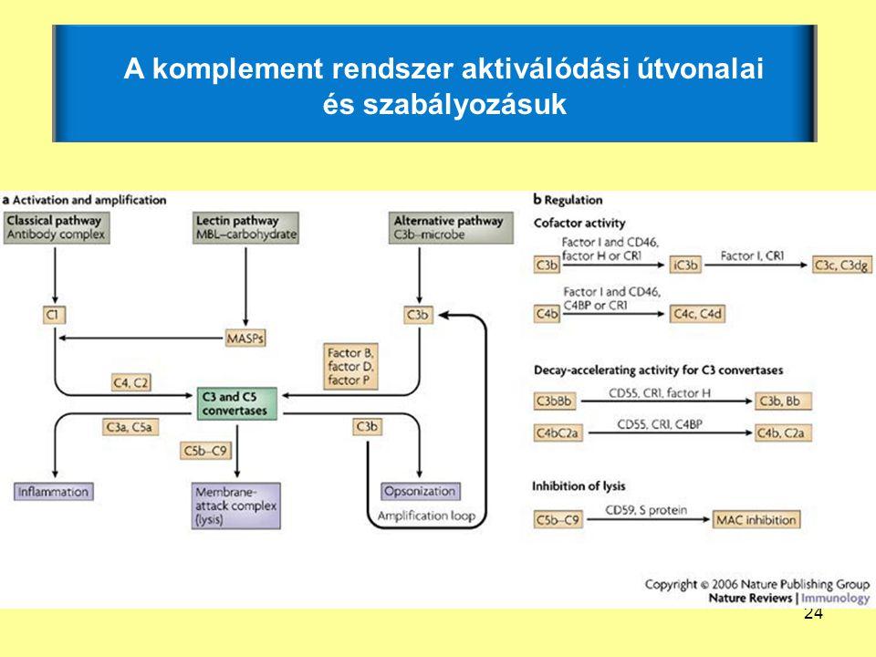 24 A komplement rendszer aktiválódási útvonalai és szabályozásuk