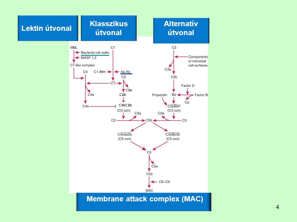 4 C4bC2b C2b C2a Klasszikus útvonal Lektin útvonal Alternatív útvonal Membrane attack complex (MAC)