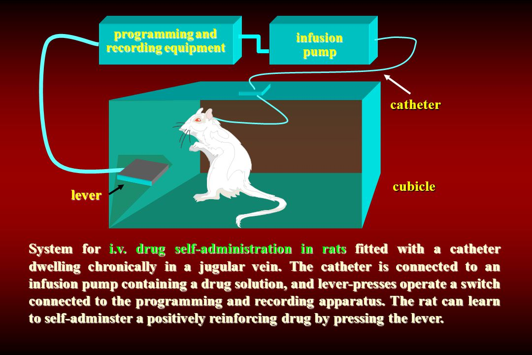 System for i.v. drug self-administration in rats fitted with a catheter dwelling chronically in a jugular vein. The catheter is connected to an infusi