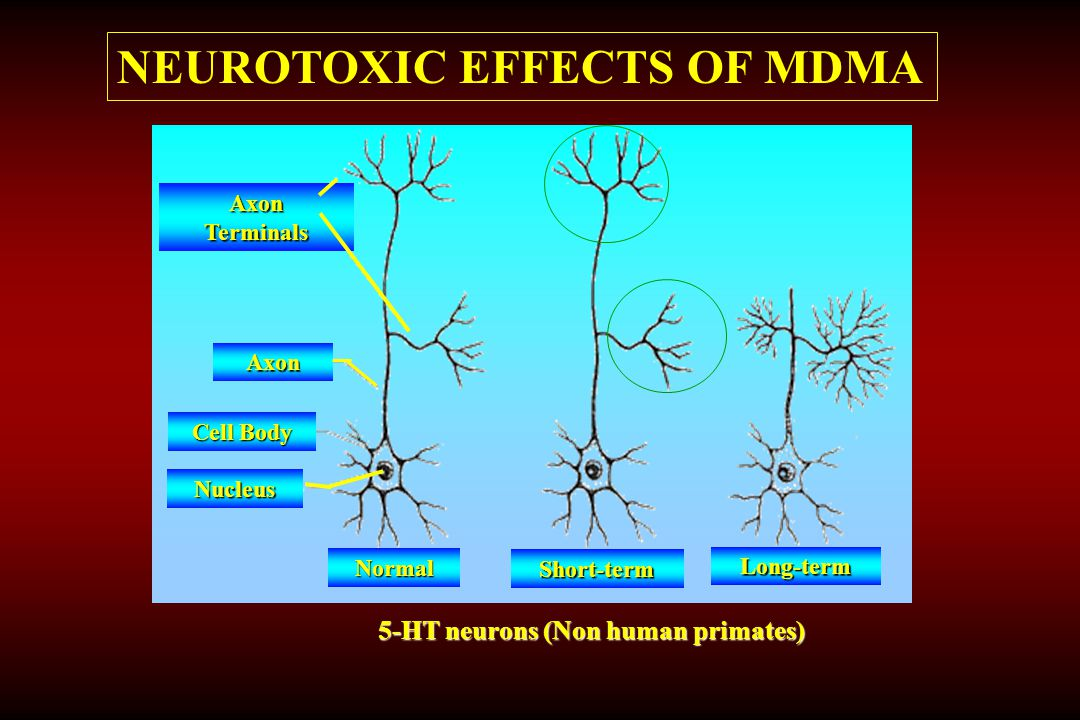NEUROTOXIC EFFECTS OF MDMA Normal Short-term Long-term Nucleus Cell Body Axon Axon Terminals 5-HT neurons (Non human primates)