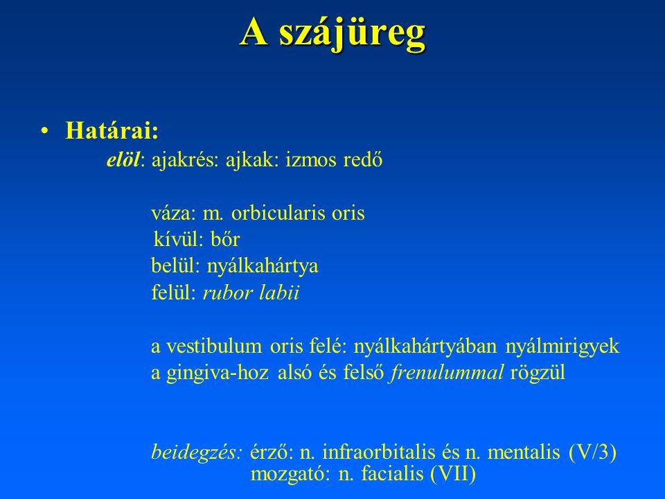 A szájüreg Határai : lateralis: bucca: m.