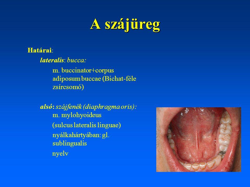 A garat ürege uvula radix linguae epiglottis recessuspiriformis