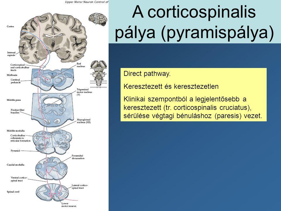 A corticospinalis pálya (pyramispálya) Direct pathway. Keresztezett és keresztezetlen Klinikai szempontból a legjelentősebb a keresztezett (tr. cortic