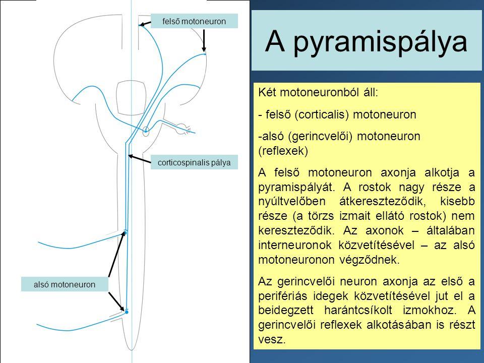 A pyramispálya Két motoneuronból áll: - felső (corticalis) motoneuron -alsó (gerincvelői) motoneuron (reflexek) A felső motoneuron axonja alkotja a py