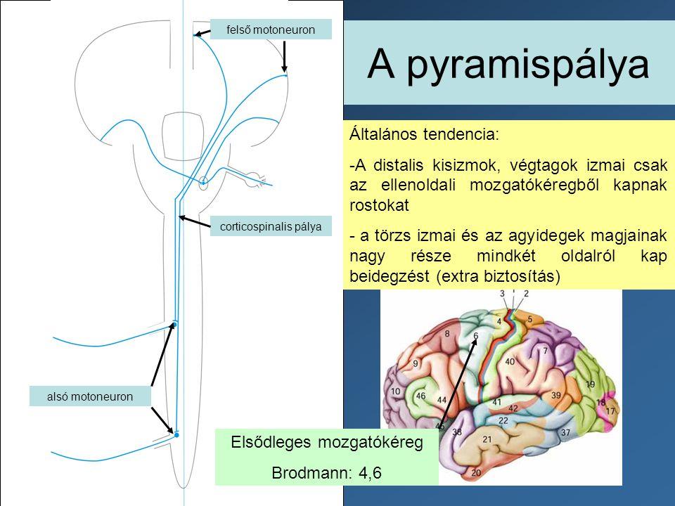 A pyramispálya alsó motoneuron felső motoneuron corticospinalis pálya Általános tendencia: -A distalis kisizmok, végtagok izmai csak az ellenoldali mo
