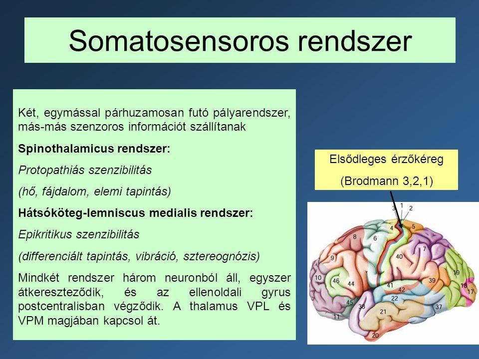 Somatosensoros rendszer Két, egymással párhuzamosan futó pályarendszer, más-más szenzoros információt szállítanak Spinothalamicus rendszer: Protopathi