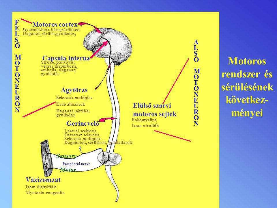 Motoros rendszer és sérülésének következ- ményei Motoros cortex Gyermekkori kéregsérülések Daganat, sérülés,gyulladás, Capsula interna Stroke, paralys