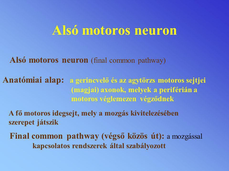 Felső motoros neuron Felső motoros neuron: Impulzusok a motoros agykéreg felől közvetlenül A gerincvelő motoros, vagy interneuronjaihoz, szabályozza az akaratlagos izommozgást Szabályozó mechanizmusok akéregalatti dúcok és az agytörzs felöl.