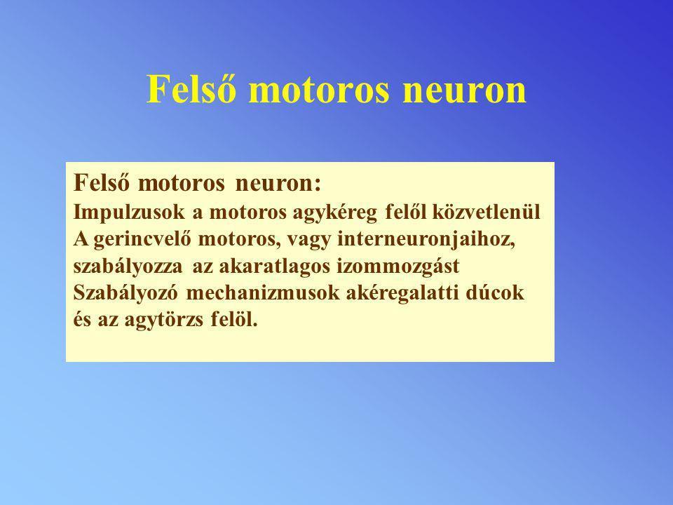 Felső motoros neuron Felső motoros neuron: Impulzusok a motoros agykéreg felől közvetlenül A gerincvelő motoros, vagy interneuronjaihoz, szabályozza a