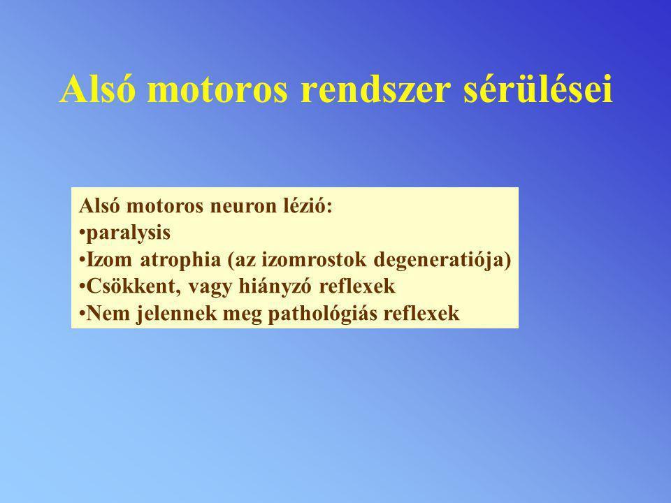 Alsó motoros rendszer sérülései Alsó motoros neuron lézió: paralysis Izom atrophia (az izomrostok degeneratiója) Csökkent, vagy hiányzó reflexek Nem j