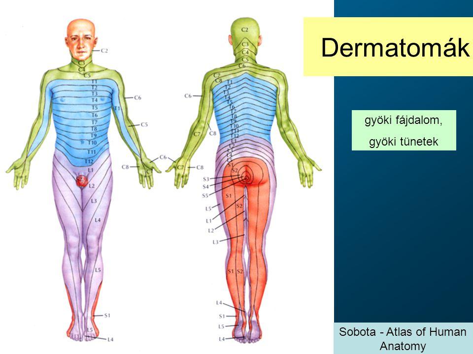 Dermatomák gyöki fájdalom, gyöki tünetek Sobota - Atlas of Human Anatomy