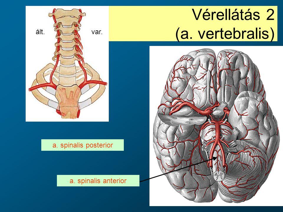 Vérellátás 2 (a. vertebralis) a. spinalis anterior a. spinalis posterior ált.var.