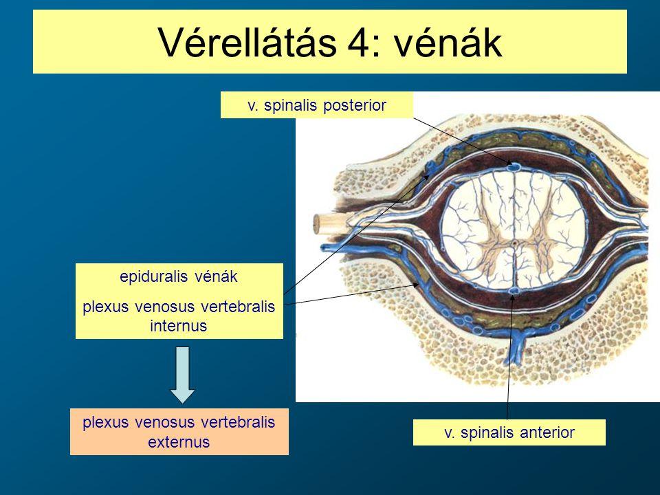 Vérellátás 4: vénák v. spinalis anterior v. spinalis posterior epiduralis vénák plexus venosus vertebralis internus plexus venosus vertebralis externu