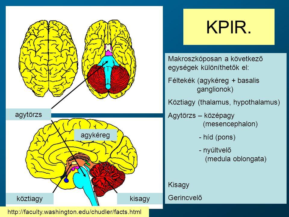 KPIR. agytörzs köztiagykisagy agykéreg Makroszkóposan a következő egységek különíthetők el: Féltekék (agykéreg + basalis ganglionok) Köztiagy (thalamu