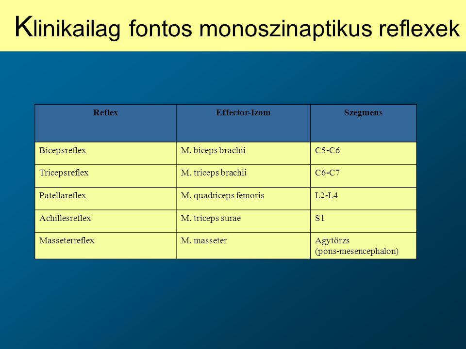 ReflexEffector-IzomSzegmens BicepsreflexM. biceps brachiiC5-C6 TricepsreflexM. triceps brachiiC6-C7 PatellareflexM. quadriceps femorisL2-L4 Achillesre