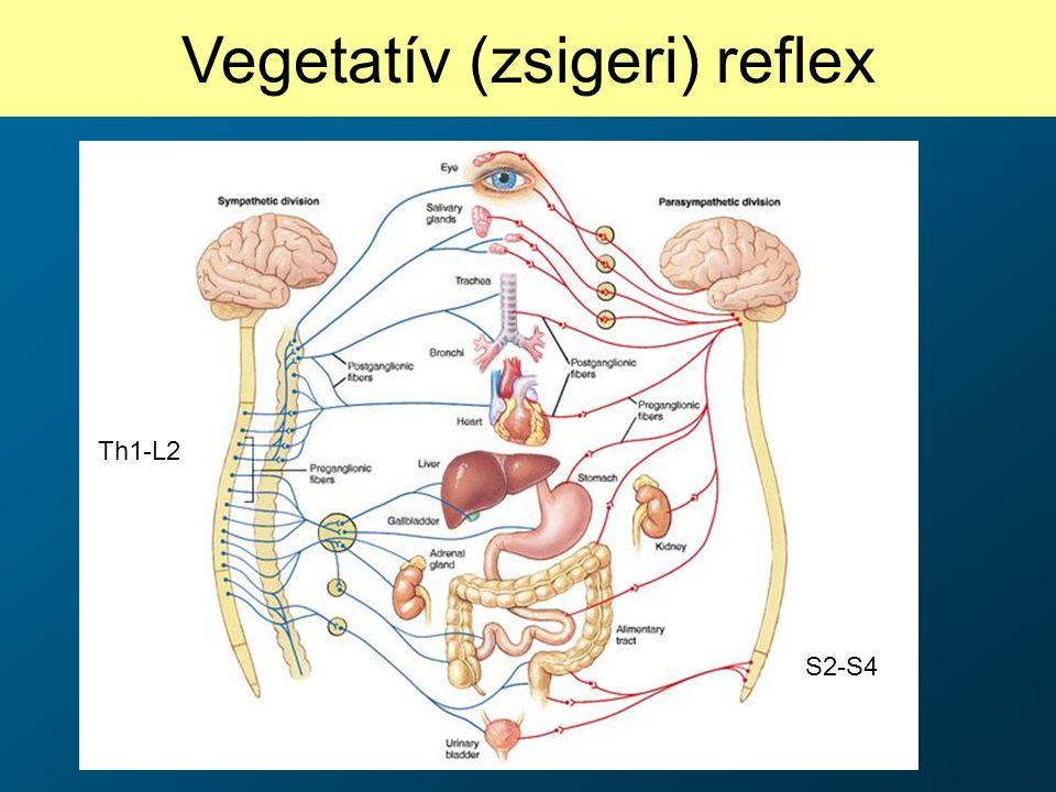 Vegetatív (zsigeri) reflex Th1-L2 S2-S4