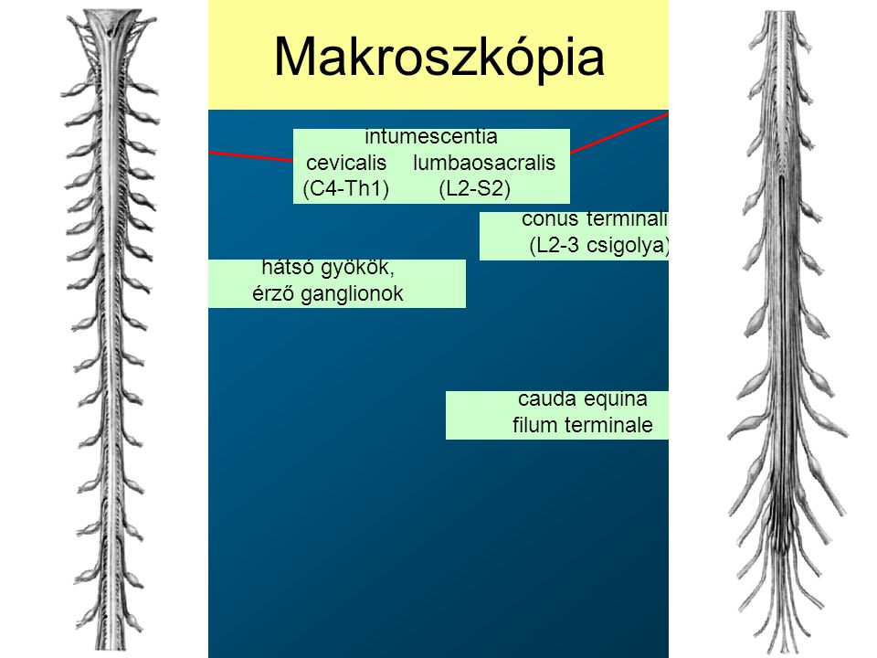 Makroszkópia conus terminalis (L2-3 csigolya) hátsó gyökök, érző ganglionok cauda equina filum terminale intumescentia cevicalis lumbaosacralis (C4-Th