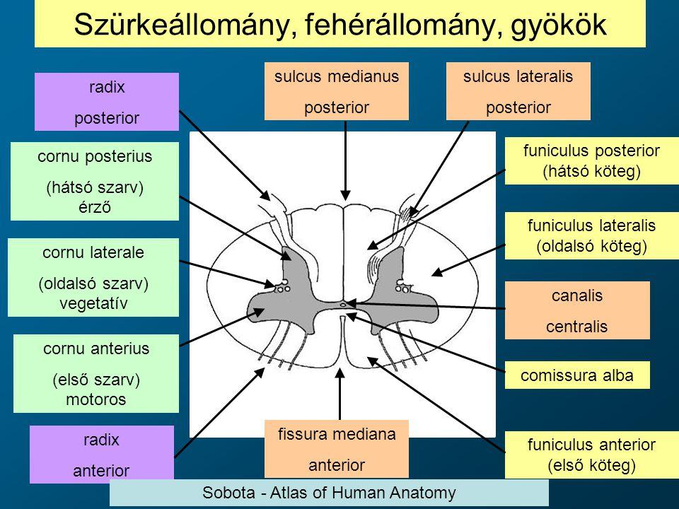 Szürkeállomány, fehérállomány, gyökök cornu posterius (hátsó szarv) érző cornu laterale (oldalsó szarv) vegetatív cornu anterius (első szarv) motoros