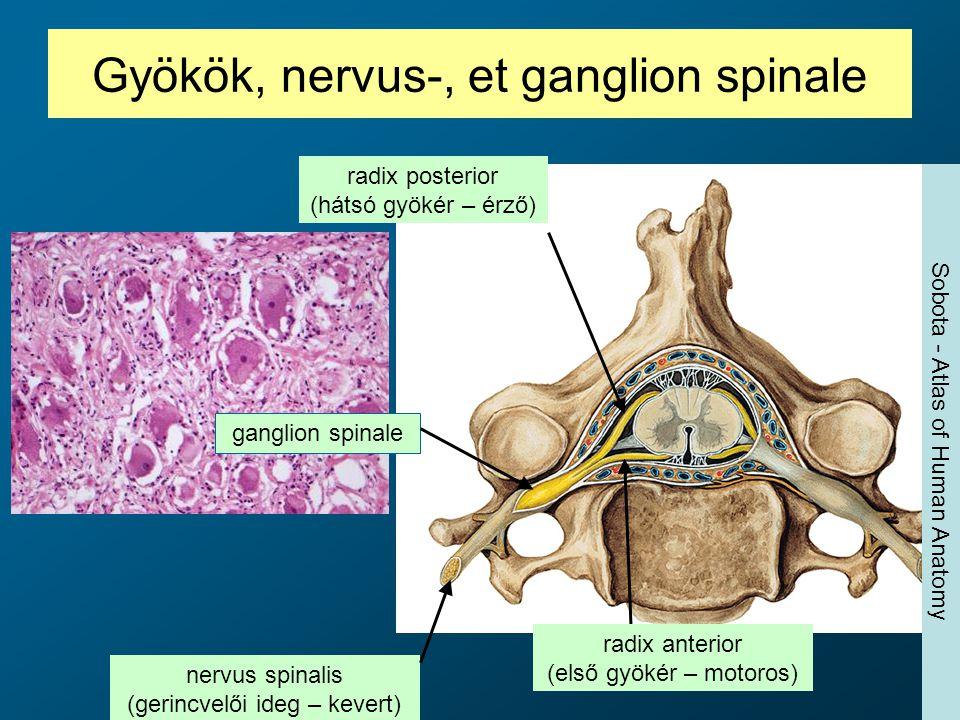 Gyökök, nervus-, et ganglion spinale radix posterior (hátsó gyökér – érző) ganglion spinale nervus spinalis (gerincvelői ideg – kevert) radix anterior