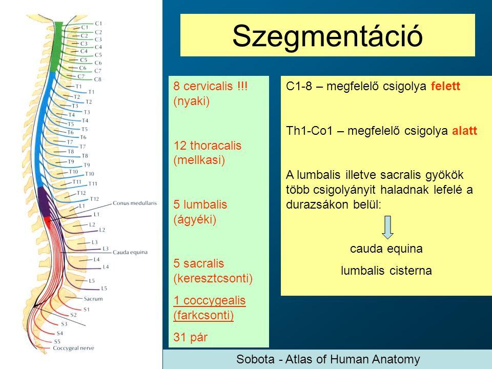 Szegmentáció 8 cervicalis !!! (nyaki) 12 thoracalis (mellkasi) 5 lumbalis (ágyéki) 5 sacralis (keresztcsonti) 1 coccygealis (farkcsonti) 31 pár C1-8 –