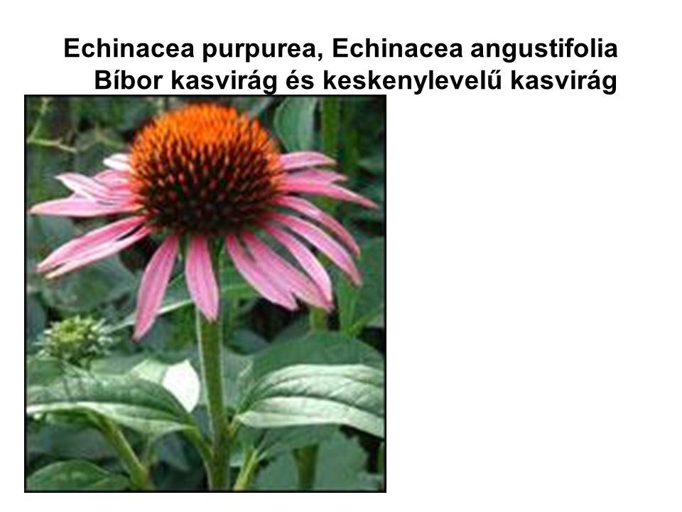 Echinacea purpurea, Echinacea angustifolia Bíbor kasvirág és keskenylevelű kasvirág
