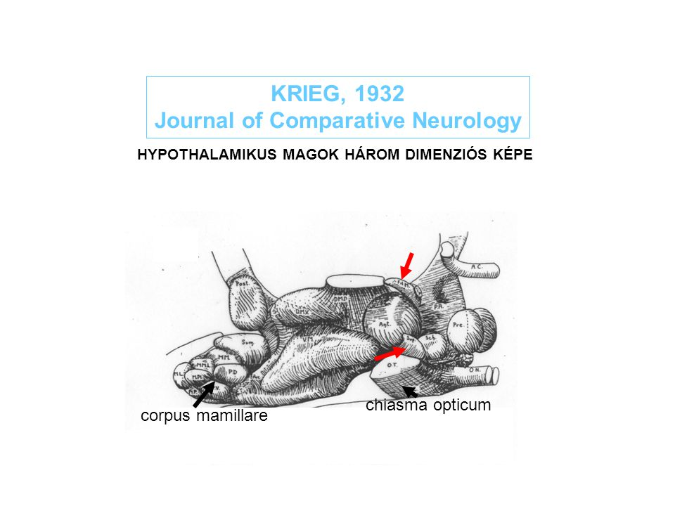 KRIEG, 1932 Journal of Comparative Neurology HYPOTHALAMIKUS MAGOK HÁROM DIMENZIÓS KÉPE chiasma opticum corpus mamillare