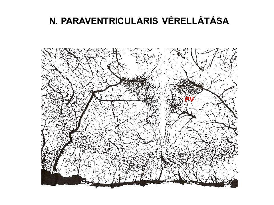 N. PARAVENTRICULARIS VÉRELLÁTÁSA PV