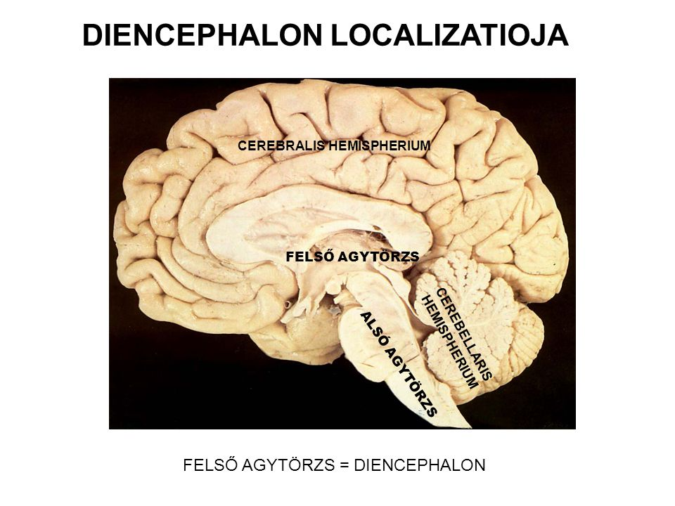FELSŐ AGYTÖRZS FELSŐ AGYTÖRZS = DIENCEPHALON CEREBRALIS HEMISPHERIUM ALSÓ AGYTÖRZS CEREBELLARIS HEMISPHERIUM DIENCEPHALON LOCALIZATIOJA