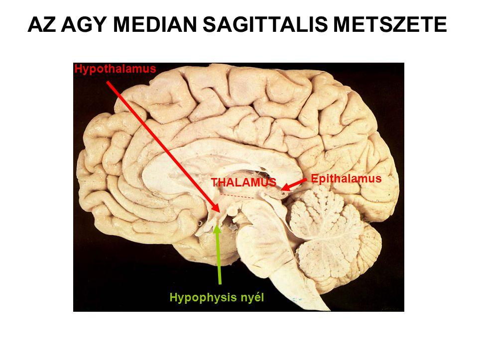 AZ AGY MEDIAN SAGITTALIS METSZETE Hypophysis nyél Hypothalamus THALAMUS Epithalamus