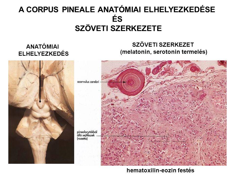 ANATÓMIAI ELHELYEZKEDÉS A CORPUS PINEALE ANATÓMIAI ELHELYEZKEDÉSE ÉS SZÖVETI SZERKEZETE SZÖVETI SZERKEZET (melatonin, serotonin termelés) hematoxilin-