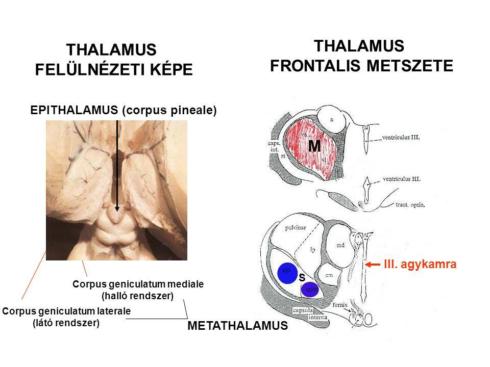 THALAMUS FELÜLNÉZETI KÉPE THALAMUS FRONTALIS METSZETE Corpus geniculatum mediale (halló rendszer) Corpus geniculatum laterale (látó rendszer) M METATH