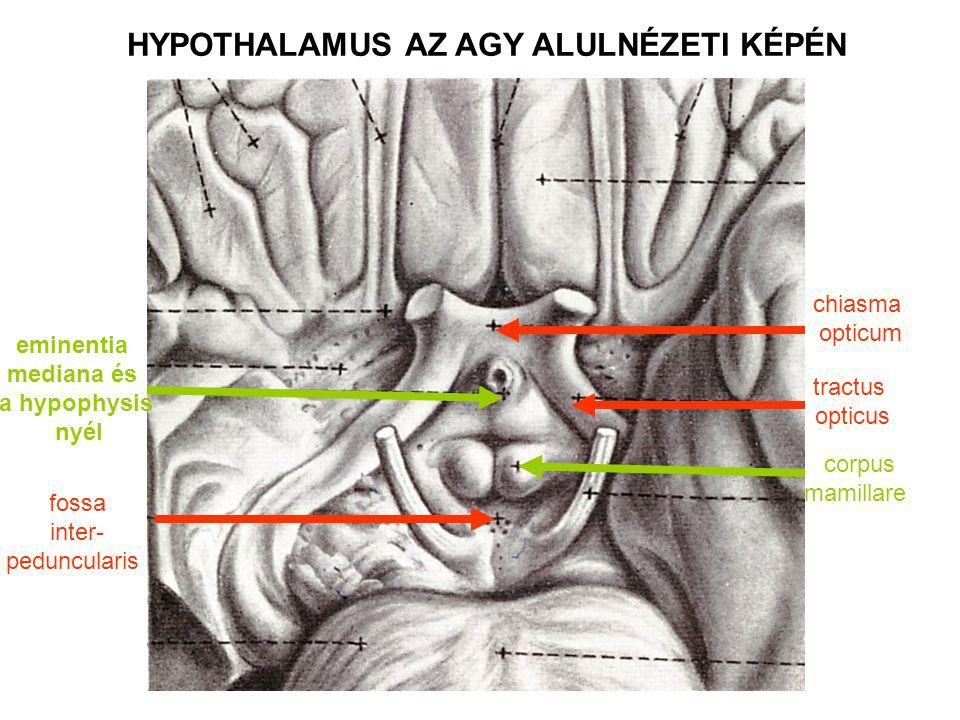 HYPOTHALAMUS AZ AGY ALULNÉZETI KÉPÉN chiasma opticum tractus opticus corpus mamillare fossa inter- peduncularis eminentia mediana és a hypophysis nyél