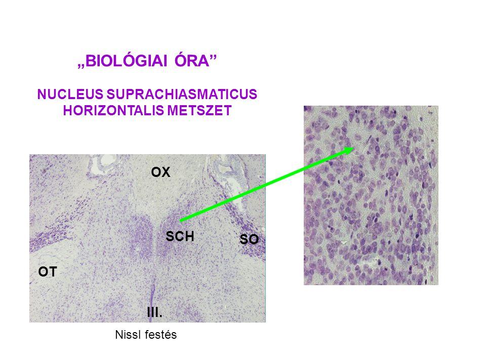 """BIOLÓGIAI ÓRA"" NUCLEUS SUPRACHIASMATICUS HORIZONTALIS METSZET SCH OX SO OT III. Nissl festés"