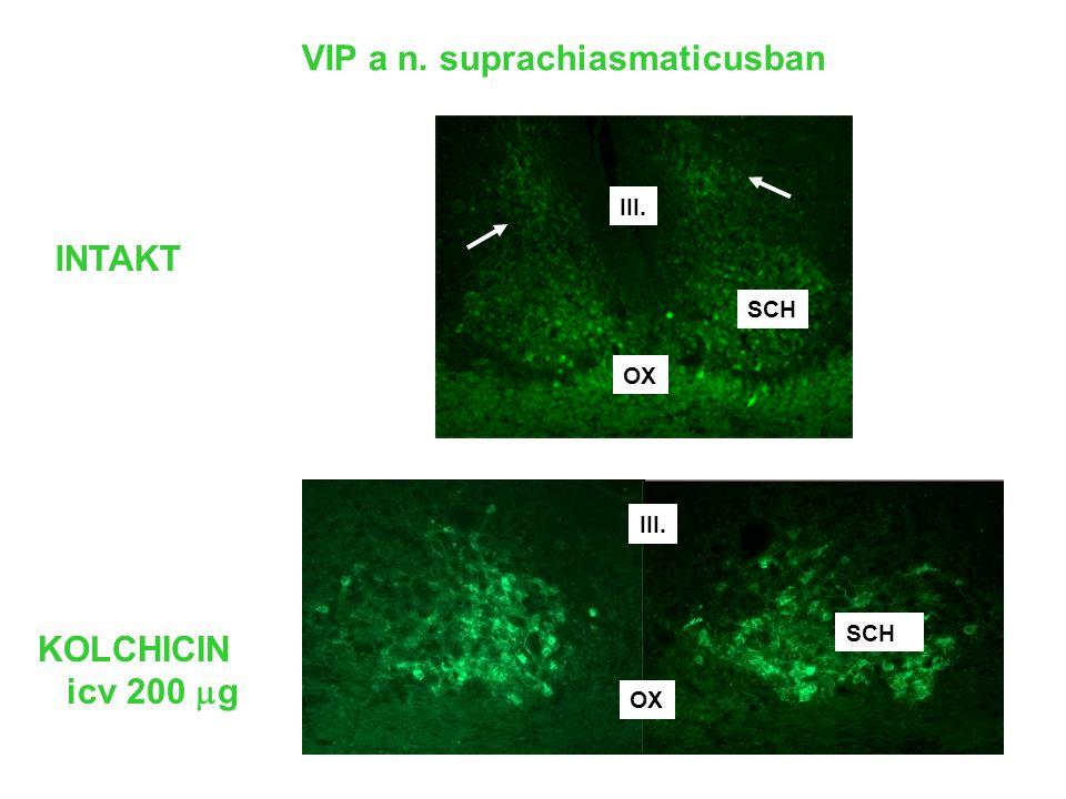 VIP a n. suprachiasmaticusban INTAKT SCH OX III. ……...……...,,,,,, …….……. KOLCHICIN icv 200  g nnnnnn III. OX SCH mm mm mm mm mm mm