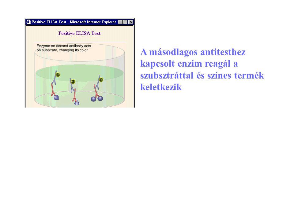 13 A másodlagos antitesthez kapcsolt enzim reagál a szubsztráttal és színes termék keletkezik
