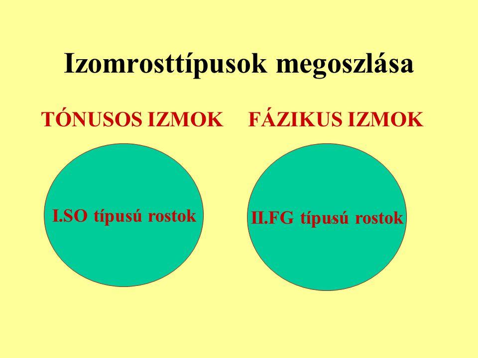 Izomrosttípusok megoszlása TÓNUSOS IZMOKFÁZIKUS IZMOK I.SO típusú rostok II.FG típusú rostok