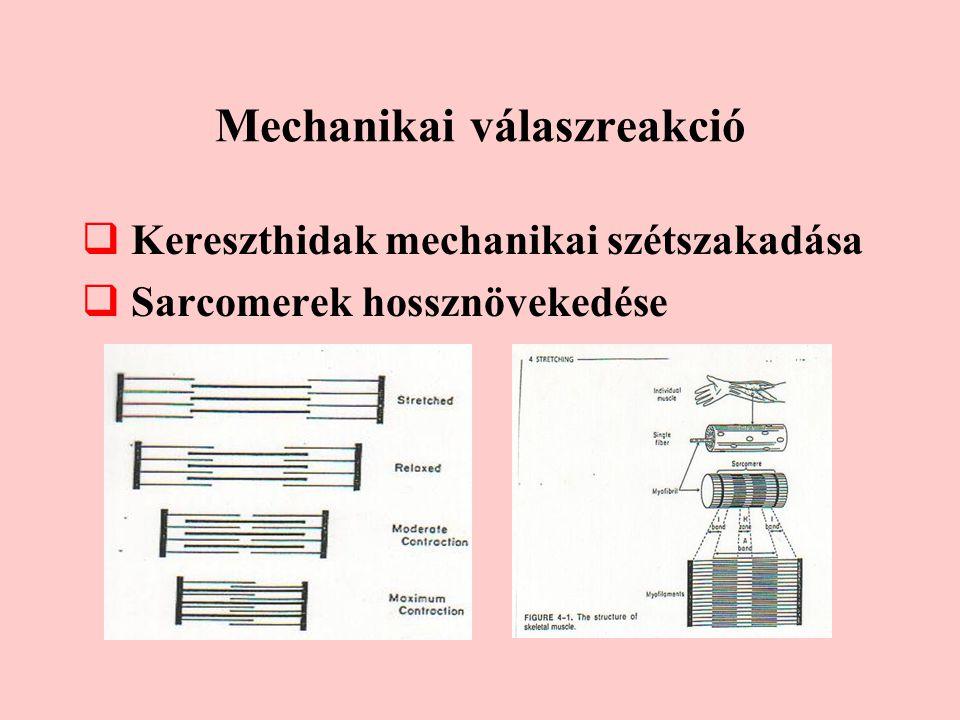 Mechanikai válaszreakció  Kereszthidak mechanikai szétszakadása  Sarcomerek hossznövekedése