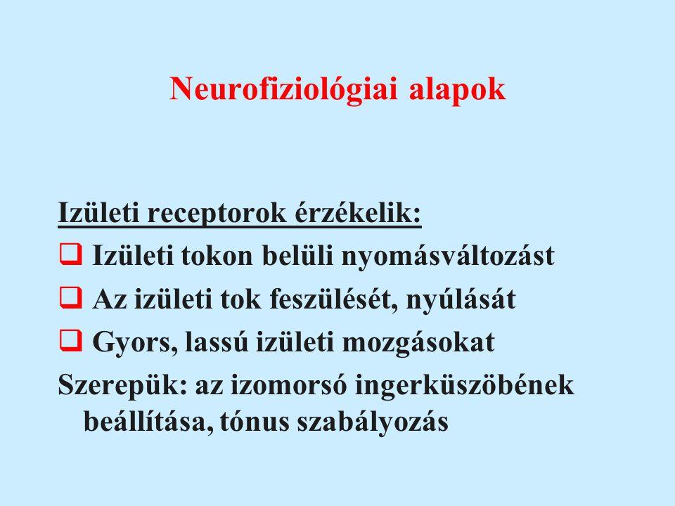 Neurofiziológiai alapok Izületi receptorok érzékelik:  Izületi tokon belüli nyomásváltozást  Az izületi tok feszülését, nyúlását  Gyors, lassú izül