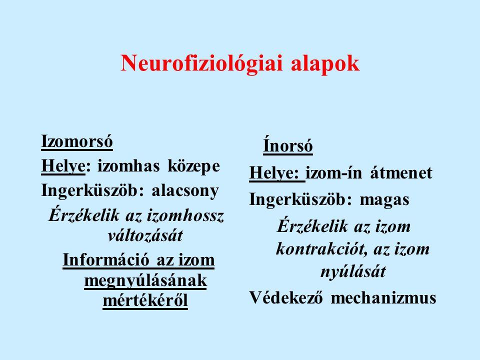 Neurofiziológiai alapok Izomorsó Helye: izomhas közepe Ingerküszöb: alacsony Érzékelik az izomhossz változását Információ az izom megnyúlásának mérték