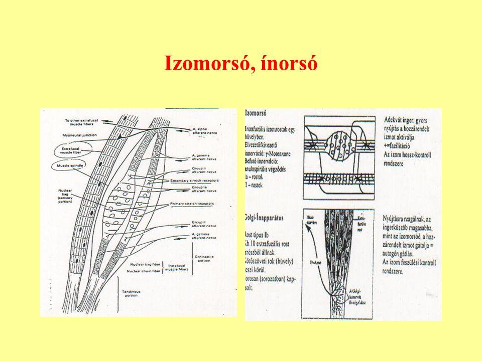 Izomorsó, ínorsó