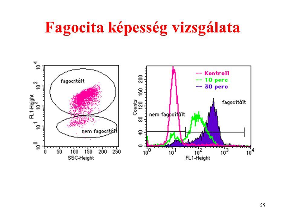 65 Fagocita képesség vizsgálata