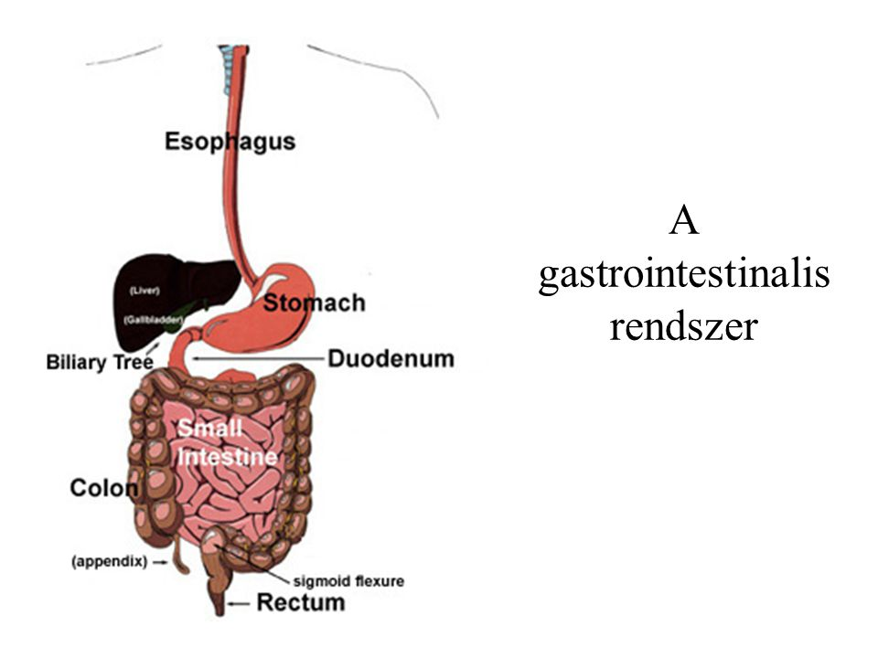 A gastrointestinalis rendszer