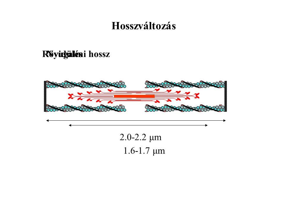Hosszváltozás Rövidülés 2.0-2.2 μm 1.6-1.7 μm Nyugalmi hossz