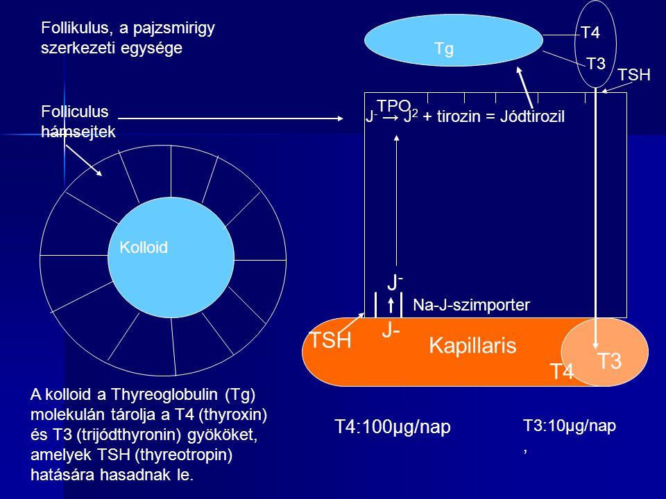 Kolloid Follikulus, a pajzsmirigy szerkezeti egysége A kolloid a Thyreoglobulin (Tg) molekulán tárolja a T4 (thyroxin) és T3 (trijódthyronin) gyököket