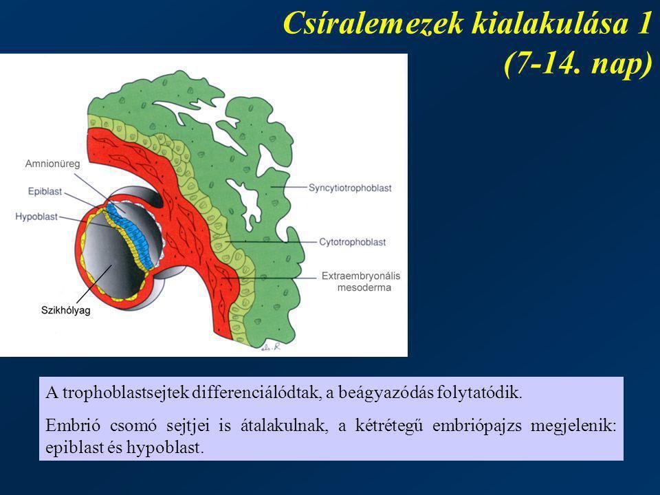 Csíralemezek kialakulása 1 (7-14. nap) A trophoblastsejtek differenciálódtak, a beágyazódás folytatódik. Embrió csomó sejtjei is átalakulnak, a kétrét