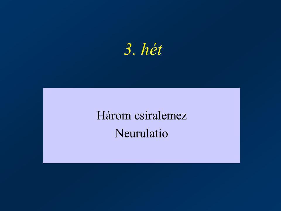 3. hét Három csíralemez Neurulatio