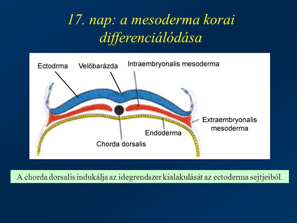 17. nap: a mesoderma korai differenciálódása A chorda dorsalis indukálja az idegrendszer kialakulását az ectoderma sejtjeiből.