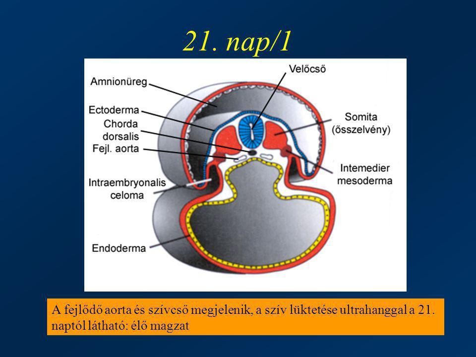 21. nap/1 A fejlődő aorta és szívcső megjelenik, a szív lüktetése ultrahanggal a 21. naptól látható: élő magzat
